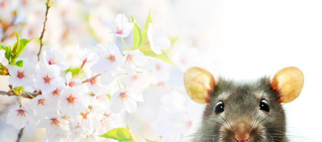Gelukkig Chinese Nieuwjaar van de METAAL RAT!